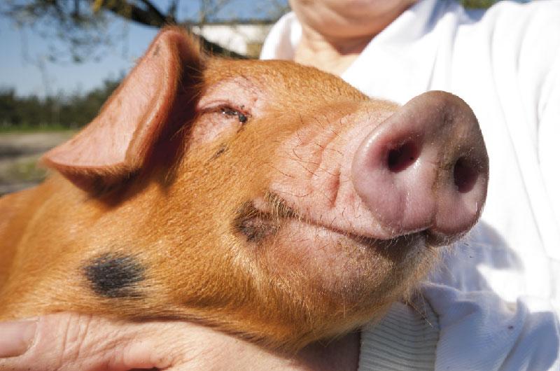 Nuestros cerdos 2