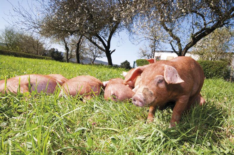 Nuestros cerdos 3
